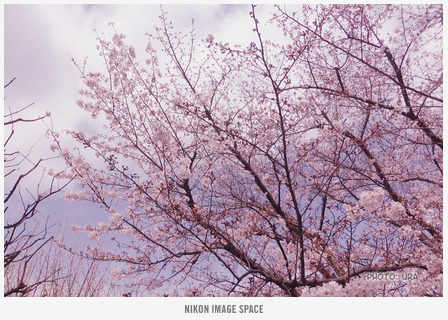 桜(TZ406750) posted by (C)うら