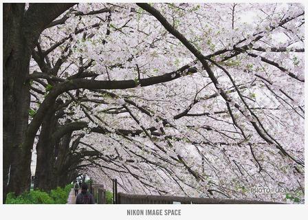 桜(D7117040) posted by (C)うら