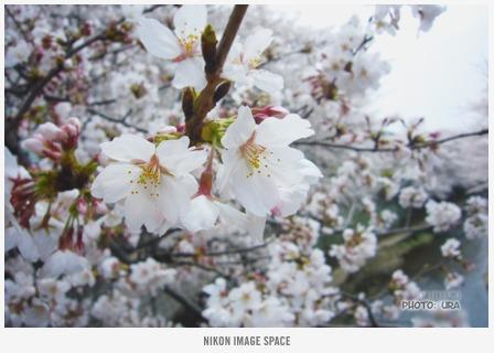 桜(P1002720) posted by (C)うら