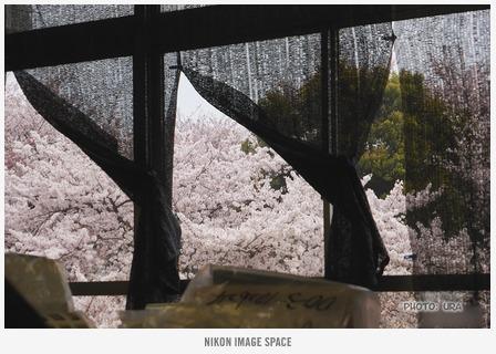 満開の桜 posted by (C)うら