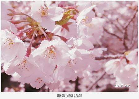 桜(NL301063) posted by (C)うら