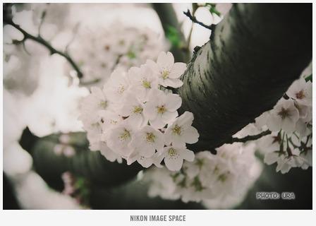 桜(D7117076) posted by (C)うら