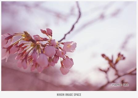 桜(D7117005) posted by (C)うら