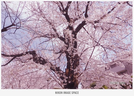 桜(TZ406741) posted by (C)うら