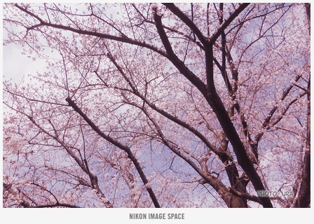 桜(TZ406738) posted by (C)うら