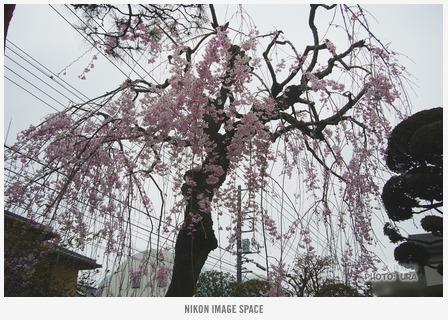 枝垂れ桜(P1002773) posted by (C)うら