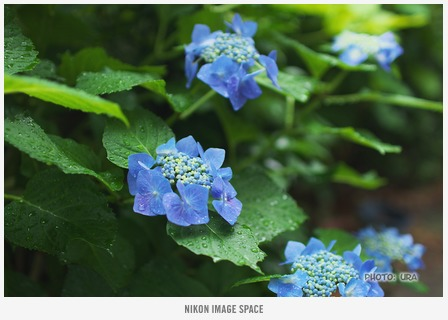 紫陽花(D7118750) posted by (C)うら