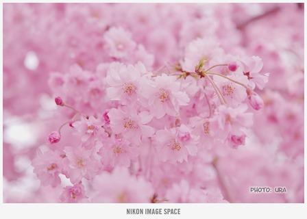 桜(D7002682) posted by (C)うら