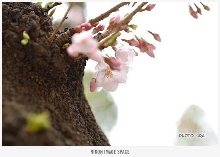 桜開花 posted by (C)うら