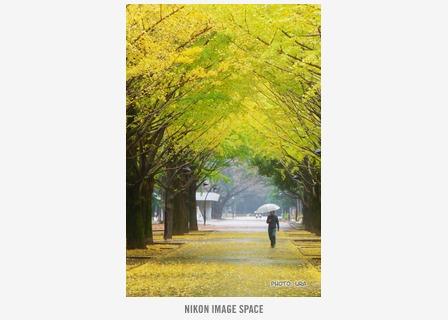 雨の日の黄葉 posted by (C)うら