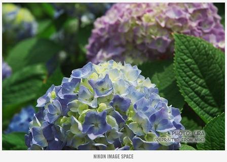 紫陽花(XXX) posted by (C)うら