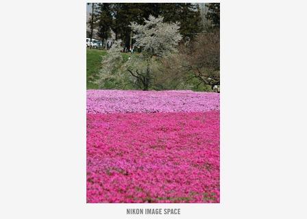 桜と芝桜() posted by (C)うら