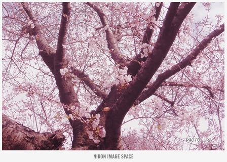 桜(TZ407301) posted by (C)うら