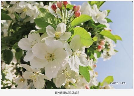 ヒメリンゴ(NL300573) posted by (C)うら