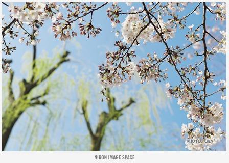 桜(D7117014) posted by (C)うら