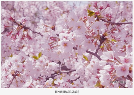 桜(TZ406877) posted by (C)うら
