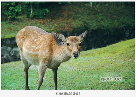 奈良公園の鹿(XXX) posted by (C)うら