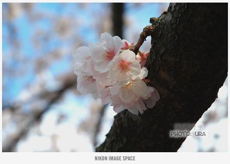 桜(XXX) posted by (C)うら