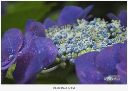 紫陽花(D7006054) posted by (C)うら