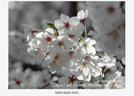 桜() posted by (C)うら
