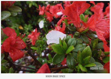 風雨に散る桜 posted by (C)うら